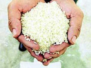 Pirinç üretiminde rekor beklentisi hakim