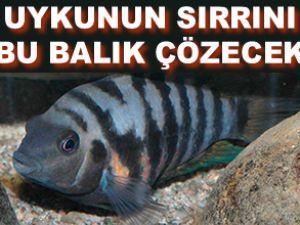 Uykunun sırrını bu balık çözecek