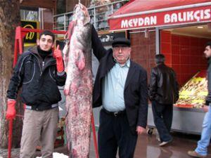 2 metre boyunda yayın balığı yakalandı