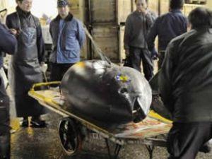 Bir ton balığı 396 bin dolara satıldı