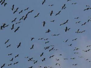 Van'daki kuşlar uçuşları tehlikeye sokuyor