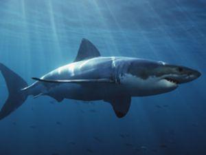 Taşucu'nda 700 kilogramlık köpekbalığı