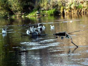Bartın Irmağı'nda kimyasal kirlilik görüldü