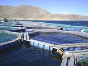 Fırat Nehri'nde üretiyor Avrupa'ya satıyor