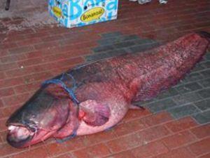 Baraj gölünde 78 kiloluk balık yakaladı
