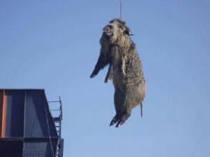 Tersanede yaban domuzu paniği yaşandı
