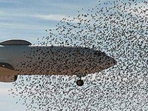 Türk Hava Yolları uçağı kuş sürüsüne daldı
