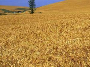Kazakistan'dan her ay 1 milyon ton buğday