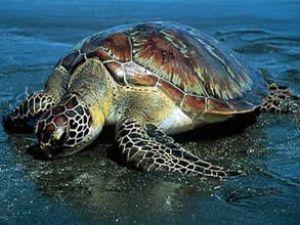 Ölü kaplumbağa yumurtaları can buldu
