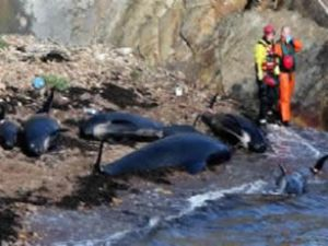 ABD ve İskoçya'da balinalar karaya vurdu