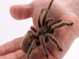 Schiphol'da turistlerin üzerinde tarantula çıktı