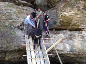 Bir inek için 10 metre köprü yaptılar!