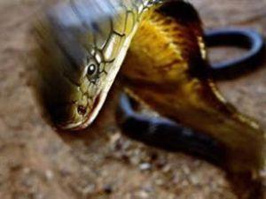 Kuveyt'e giden yolcu uçağında yılan soktu