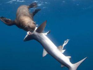 Bu kez fok balığı köpek balığına saldırdı