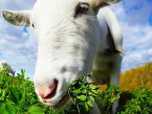 O'Hare Havaalanında çimleri keçiler biçiyor