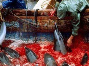Japonya'da kanlı yunus avı