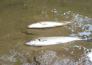 Çanakkale'de balık ölümleri endişe yarattı