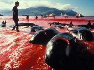 Japonya balina avından vazgeçmiyor