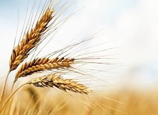 Buğday ve Arpa üretiminde düşüş bekleniyor
