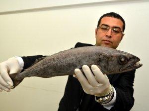 Mersin'de ağlara 'Yağ Balığı' takıldı