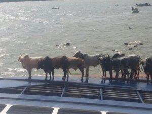 Bacarena'da hayvan taşıyan gemi battı, 5 bin hayvan telef oldu