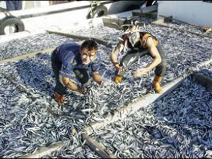Balıkesir'de 10 ton hamsi dağıtılacak